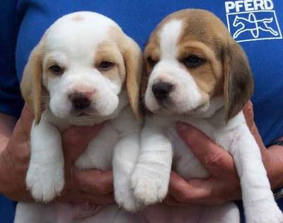 beagle_08a.jpg